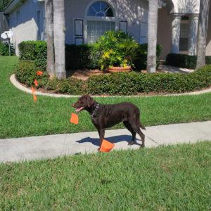 advanced-dog-training-bloomingdale-fl