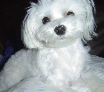 dog training maltese