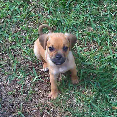dog training puggle